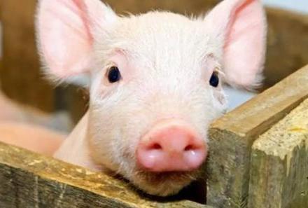 农业农村部:当前我国非洲猪瘟疫情形势严峻