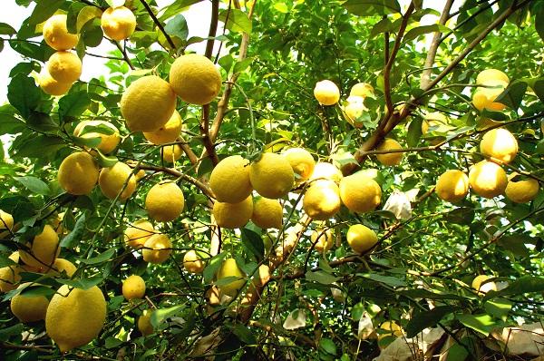 安岳柠檬.jpg