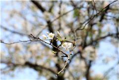 樱花季科普 ▏话说樱花结的果是樱桃or车厘子?