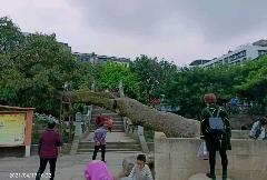 蓬溪网民反映广场古树濒临死亡,当地政府邀省级林业专家会诊抢救